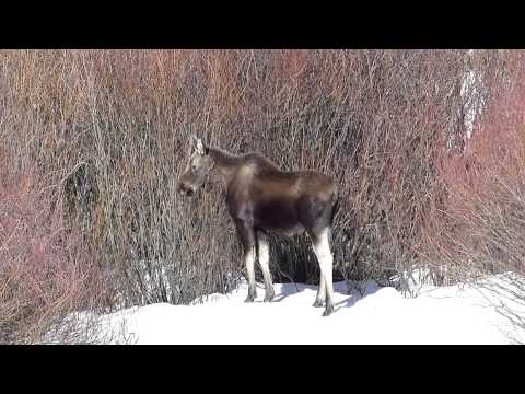Young Moose of Yellowstone