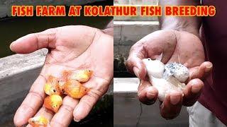 balloon Molly Fish Farm at Kolathur Fish Breeding | வண்ண மீன் வளர்ப்பு