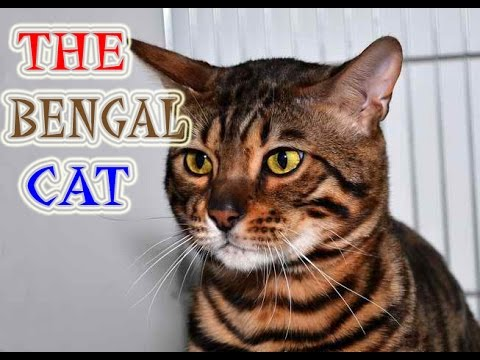Bengal Cat | The Amazing Cat