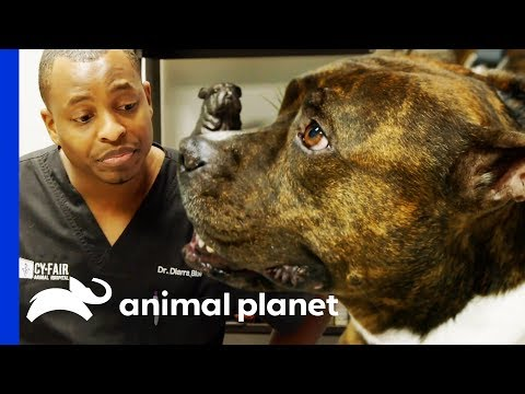Dr Blue Operates On Brinney The Pit Bull To Remove Mammary Masses | The Vet Life