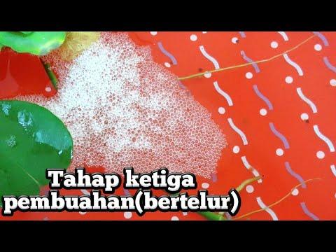 Cara membedakan telur dan gelembung ikan cupang - YouTube