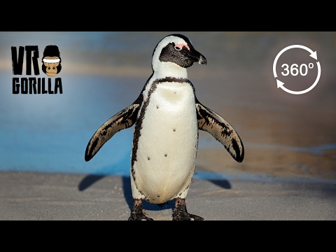 Meet The African Penguins (360 VR Video)