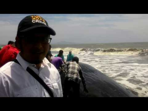 Sperm Whales stranded and died on the Alue Naga Beach, Banda Aceh