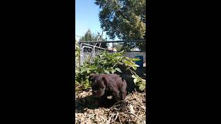 Little miniature schnauzers going potty and play