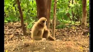 Monkey harasses two tigers