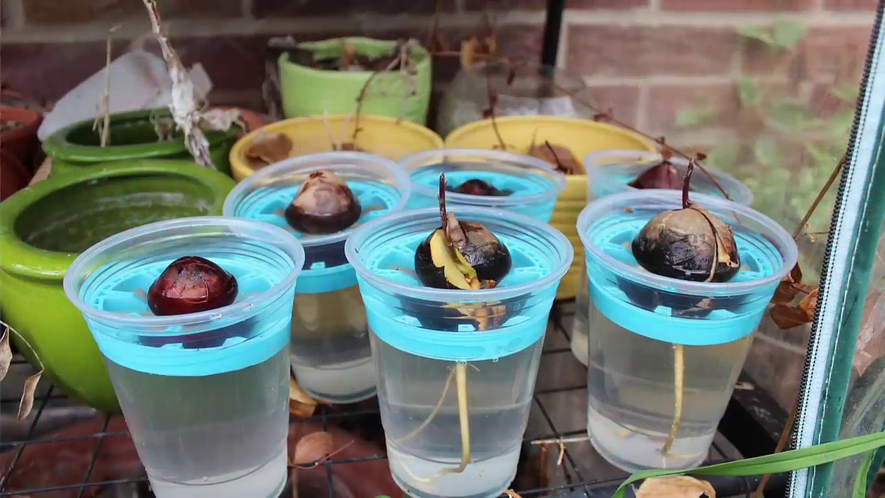 how to grow avocado from seed in water youtube. Black Bedroom Furniture Sets. Home Design Ideas