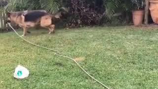German Shepherd aka the sprinkler dog