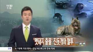 도심 멧돼지 출몰, 진돗개와 혈투·실탄 3발 쏴 사살
