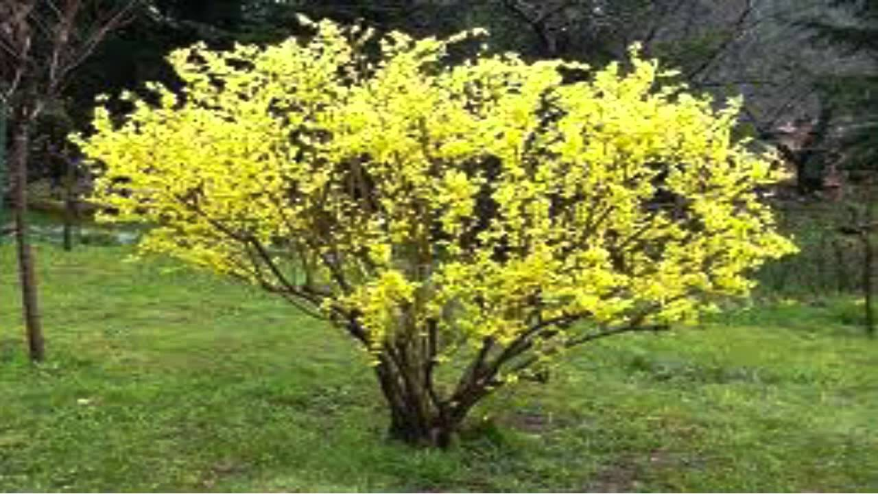 Forsythia Shrubs For 1 89 At Tn Online Tree Nursery
