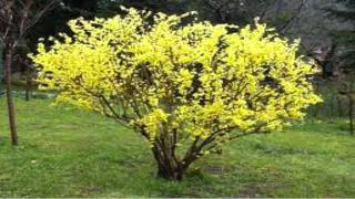 Forsythia Shrubs for sale $1.89 at Tn Online Tree Nursery