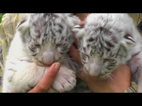 3 Rare Baby White Bengal Tigers Squeak Instead of Roar