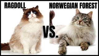 Ragdoll Cat VS. Norwegian Forest Cat