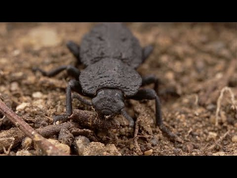 Diabolical Ironclad Beetle: Unlocking the secrets of its super-tough design