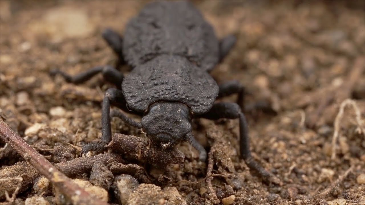 Meet the diabolical ironclad beetle, which can survive being run ...