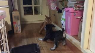 一緒に住んでる猫と犬の大喧嘩!普段は仲いいんだけどね.