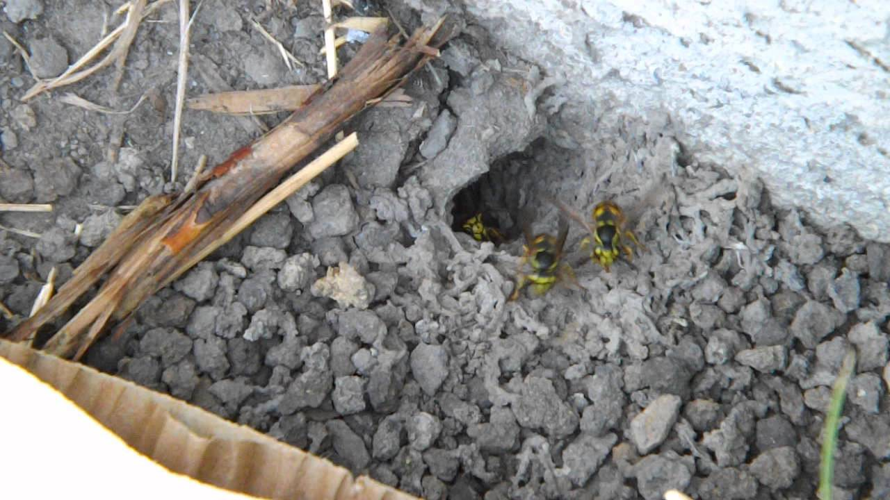 Yellow jackets ground hornets - Busy Yellow Jacket Wasp Nest In The Ground