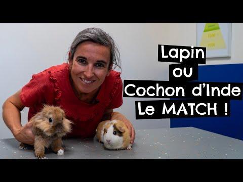 Lapin Ou Cochon D'Inde - Le MATCH !