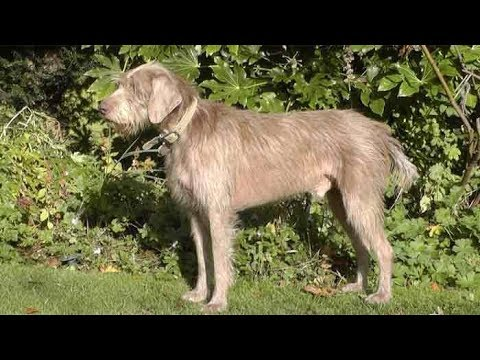 Dog Breed Video: Slovakian Rough Haired Pointer