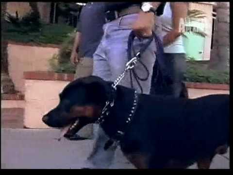 O encantador de cães: Rottweiler agressivo