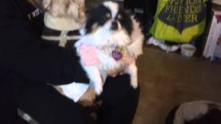 Annabelle Pomeranian Teacup Puppie Plays With Other Little Rescued Dogs For Adoptions
