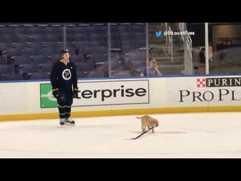 Bill Cunningham - VIDEO: Puppy Practices With the St. Louis Blues