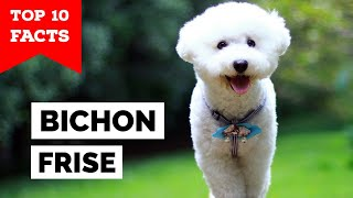 Bichon Frise - Top 10 Facts