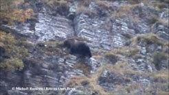 Observations directes de deux ours bruns dans les Pyrénées centrales