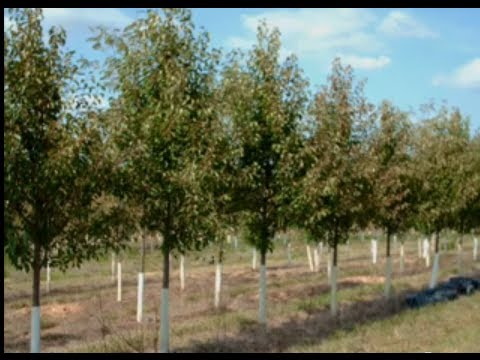 Cleveland Select Pear Trees for NJ