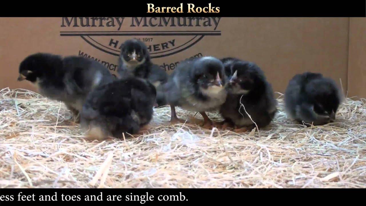 Barred Rock Chicks Youtube