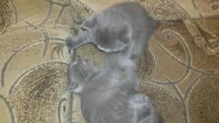 Шотландские котята кусаются