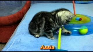Британские котята окраса вискас (Assia_2_months)