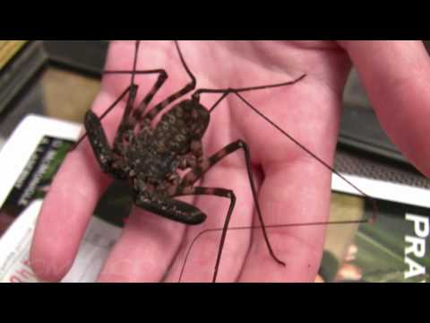 Cave Spider ala Harry Potter, close-up at the 2010 LANHM Insect Fair 720p HD V07962