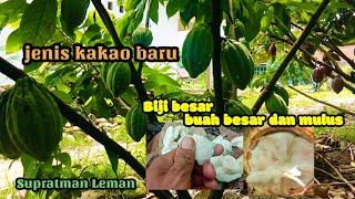 Download Lagu kakao berbiji besar Mirip klon 45 dan M.01 | Petani kakao mp3
