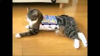 Смешные кошки 2015 - Кошка напялила на себя коробку и довольна!
