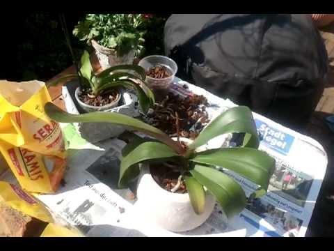 orchideen pflege 2 phaleanopsis umtopfen doovi. Black Bedroom Furniture Sets. Home Design Ideas