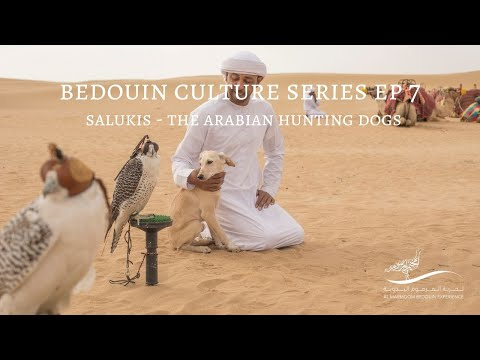 Bedouin Culture Series EP 7: Salukis, The Arabian Hunting Dogs