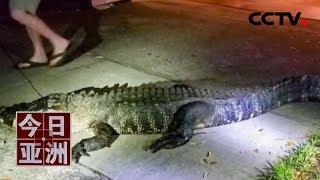 [今日亚洲]速览 惊悚!破窗而入 3米长鳄鱼夜闯民宅| CCTV中文国际