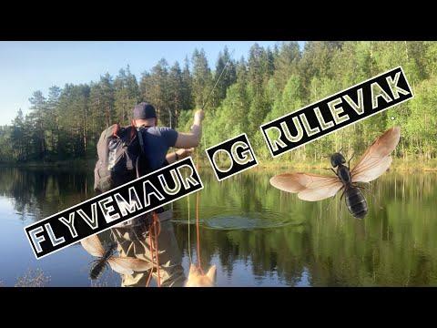 Flyvemaur og vakende ørret - Fly fishing in Norway