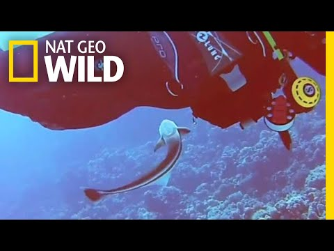See a Suckerfish Try to Latch Onto a Diver | Nat Geo Wild