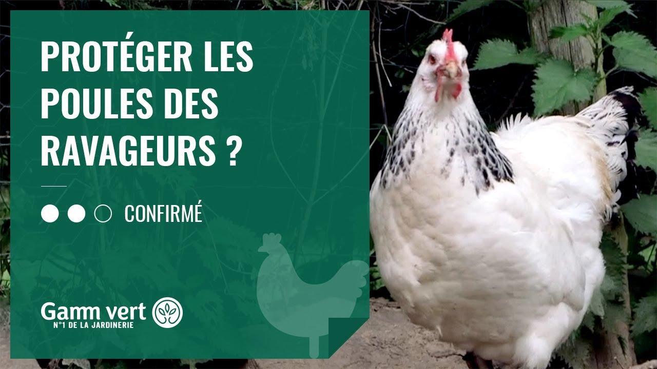 tuto comment proteger les poules des ravageurs jardinerie gamm vert