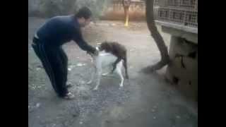 Dişi Köpek Vs Erkek Köpek