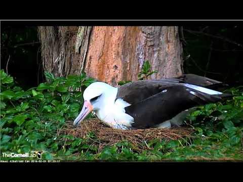 2 1 2016  Laysan Albatross Chick Gets Breakfast