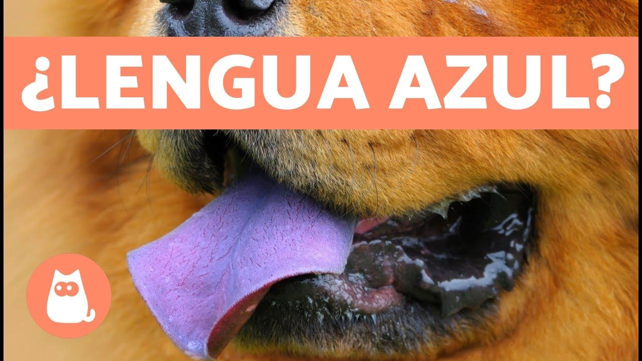 lengua azul l