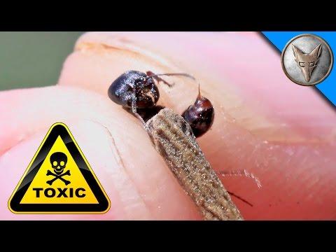 SUPER Toxic Ant Venom!