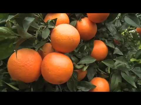 Citrus - Orange & Lemon Trees