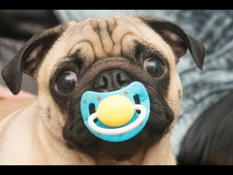 Cute  Dog Loves Pacifier Compilation –  Funny dog Videos 2018