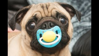 Cute  Dog Loves Pacifier Compilation -  Funny dog Videos 2018