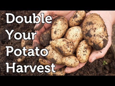 Potato Growing Hack to Double Harvests