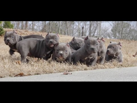 Exotic Bully Litter sold out Facebook.com/bradieandthebullies