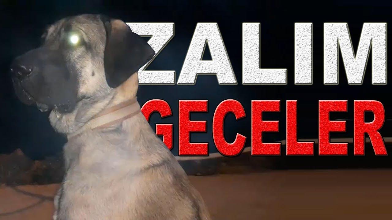 Kangal TV MASKOTU AFRiN ile ZALiM GECELER MODU   ANATOLiAN SHEPHERD DOG NiGHTWALK